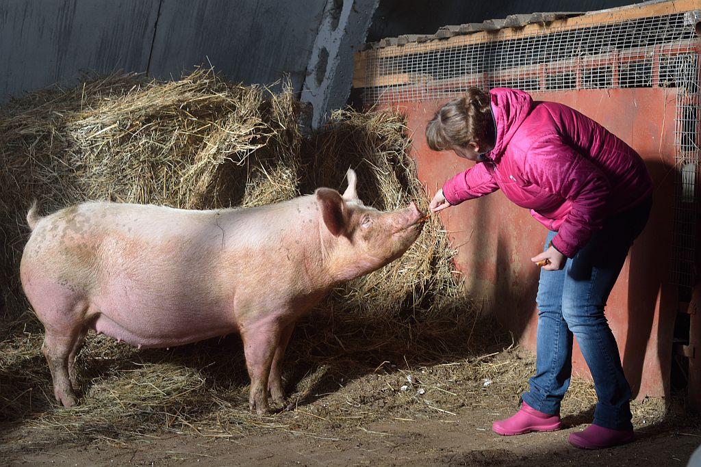 смешать полтора свиньи ландрас фото вам обязательно надо